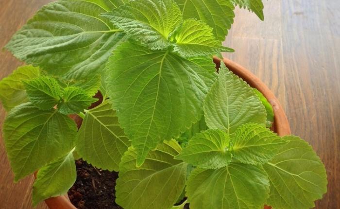 How to grow Korean Perilla Leaves athome?